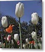 Tulips At Dallas Arboretum V36 Metal Print