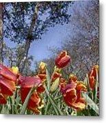 Tulips At Dallas Arboretum V37 Metal Print