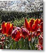 Tulips At Dallas Arboretum V41 Metal Print