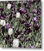 Tulips At Dallas Arboretum V43 Metal Print