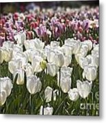Tulips At Dallas Arboretum V52 Metal Print