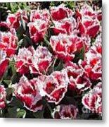 Tulips At Dallas Arboretum V70 Metal Print