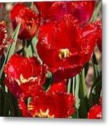 Tulips At Dallas Arboretum V83 Metal Print
