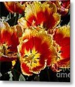 Tulips At Dallas Arboretum V84 Metal Print