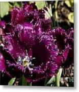 Tulips At Dallas Arboretum V85 Metal Print