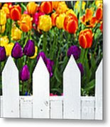 Tulips Behind White Fence Metal Print by Elena Elisseeva