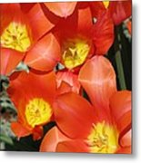 Tulips - Field With Love 25 Metal Print