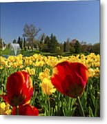 Tulips Galore  Metal Print