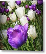 Tulips In Purple And White Metal Print