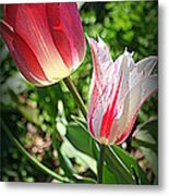 Tulips In Red And White Metal Print