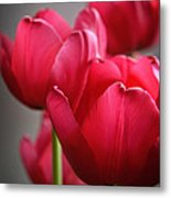 Tulips In The  Morning Light Metal Print