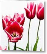 Tulips Say Hello Metal Print