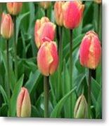 Tulips (tulipa 'oxford Elite') Metal Print
