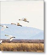Tundra Swans In Flight Metal Print