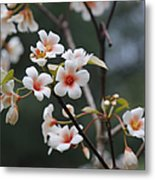 Tung Oil Blossoms Metal Print