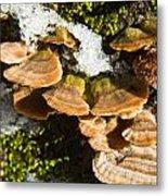 Turkey Tail Bracket Fungi Metal Print