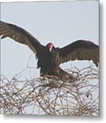 Turkey Vulture Metal Print