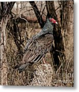 Turkey Vulture Portrait Metal Print