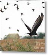 Turkey Vulture Takes Flight Metal Print