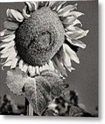 Turkish Sunflower 3 Metal Print
