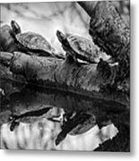 Turtle Bffs Bw By Denise Dube Metal Print