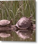 Turtle Struggling To Rest On A Log With Its Buddy Metal Print