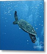 Turtle With Divers' Bubbles Metal Print