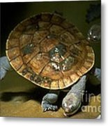 Turtles Float Metal Print