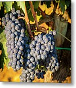 Tuscan Vineyard Metal Print by Brian Jannsen