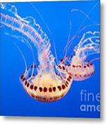 Twin Dancers - Large Colorful Jellyfish Atlantic Sea Nettle Chrysaora Quinquecirrha  Metal Print