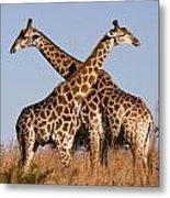 Twin Giraffes Metal Print