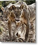 Twin Lions Metal Print