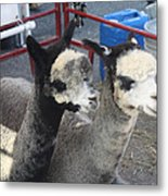 Two Alpacas Metal Print
