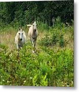 Two Appaloosa Horses  Metal Print