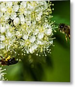Two Bees On A Rowan Truss - Featured 3 Metal Print