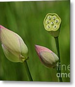 Two Buds In A Shower Metal Print