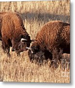 Two Bull Bison Facing Off In Yellowstone National Park Metal Print
