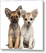 Two Chihuahua Puppies Sitting 3 Months Metal Print