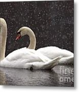 Two Christmas Swans A Swimming Metal Print