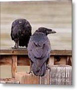 Two Common Ravens Corvus Corax Interacting Metal Print