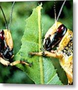 Two Desert Locusts Eating Metal Print