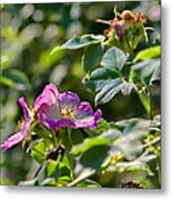Two Dogroses Summer 2014 Metal Print
