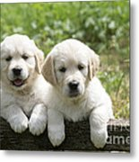 Two Golden Retriever Puppies Metal Print