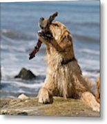 Two Golden Retrievers Playing Metal Print
