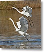 Two Greater Egrets  Metal Print