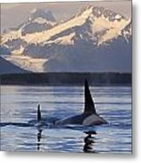 Two Killer Whales Surface In Lynn Canal Metal Print
