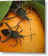 Two Leaf Footed Bugs On An Orange Metal Print
