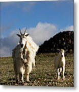 Two Mountain Goats Oreamnos Americanus Metal Print