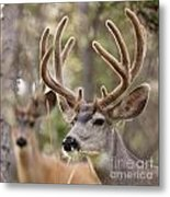 Two Mule Deer Bucks With Velvet Antlers  Metal Print