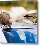 Two Nz Alpine Parrot Kea Trying To Vandalize A Car Metal Print